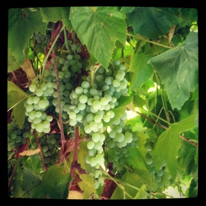 130714 grapes